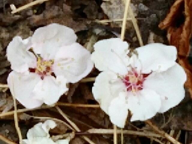 アンズ(杏子)の花が咲き始めていました!