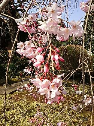 さあ、枝垂れ桜が三分咲きほどに成って来ましたよ♪
