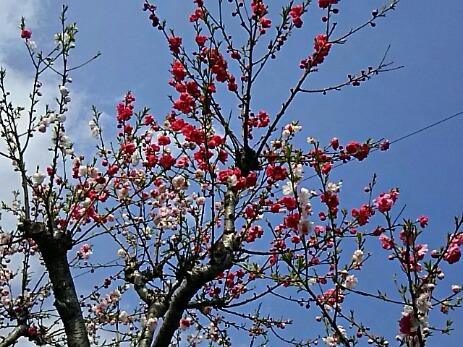 友人宅のハナモモ(花桃)、今年はちょっと淋しい咲き姿