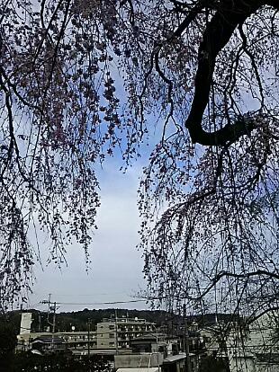 やっと、枝垂れ桜が満開近くに成りました~♪