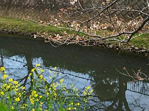ソメイヨシノはまだ二分咲き程度です!