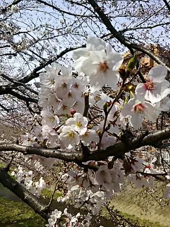吉野桜と共にお昼ブログで今日の直さん(高橋直純)参ります!