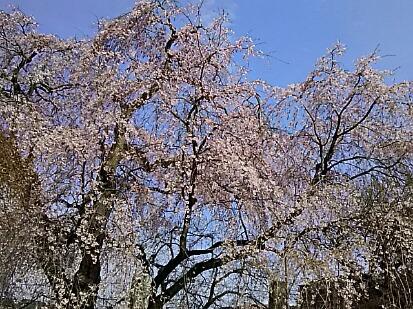 今日は花祭りでしたね!そしてこの満開の枝垂れ桜で社長、おめでとう御座いますを( ^-^)ノ∠※。.:*:・'°☆