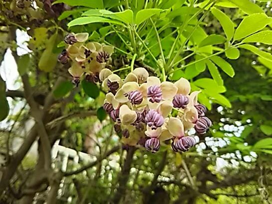 アケビ(五つ葉アケビ、ゴヨウアケビ)の花