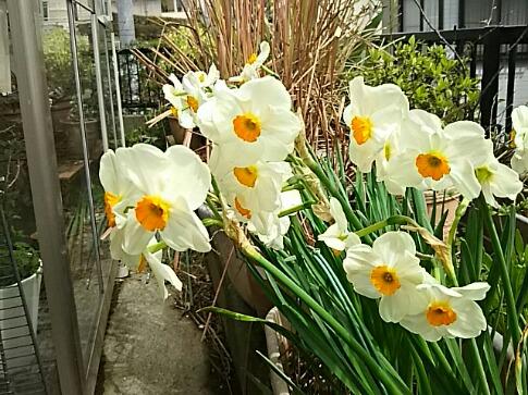 我が家の香り水仙ゼラニュームが今年も咲いてくれています♪