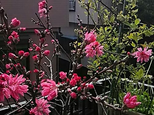 今朝は我が家の鉢植えのキクモモ(菊桃)です!