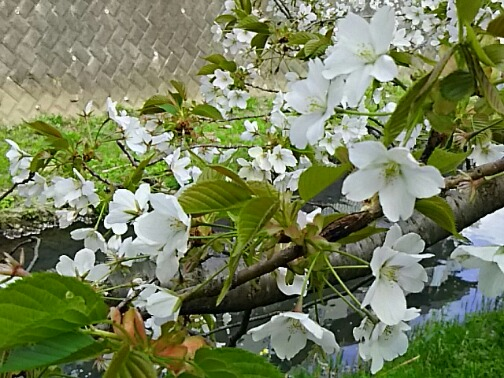 満開の匂い桜にうっとり♪