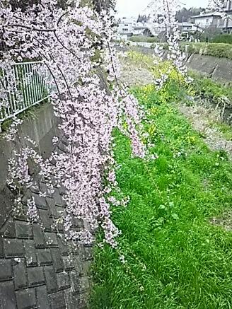 このピンクの枝垂れ桜と共に今日の直さん(高橋直純)と最新のお知らせ参ります!(*^▽^)/★*☆♪