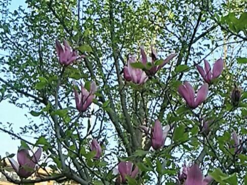 シモクレン(紫木蓮、モクレン)はちょっと地味ですが古くから愛された花