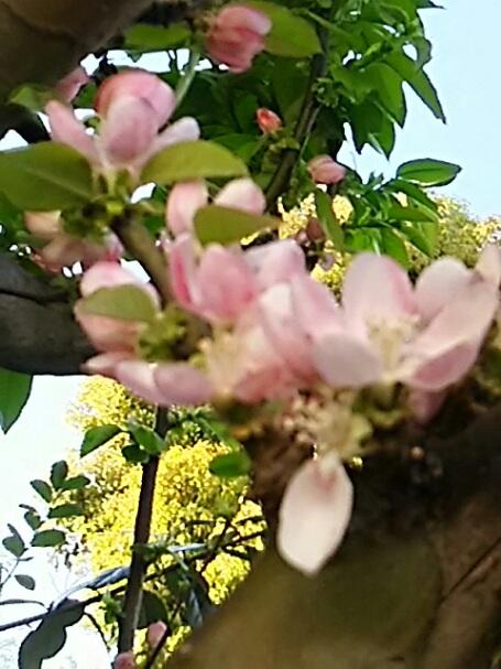 カリン(花梨)の可愛い花が咲き始めました♪