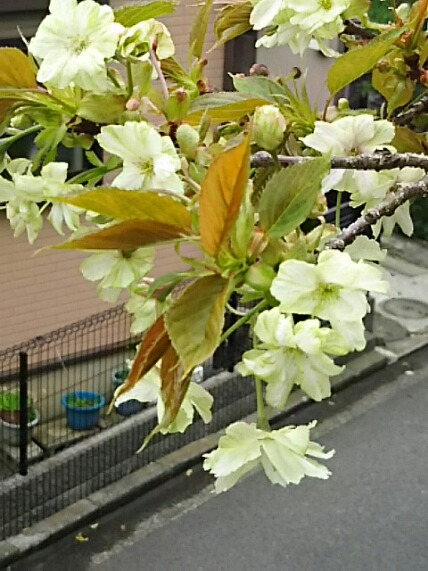 我が家の鉢植え八重桜「御衣黄」咲きました~♪