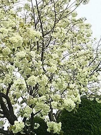 ご近所のウコンザクラ(鬱金桜)は見事な咲きっぷりです!