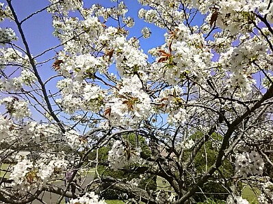 八重桜(牡丹桜、里桜)を二種類ずつご紹介しましょう!①