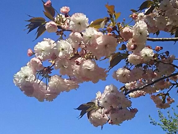 八重桜(牡丹桜、里桜)を二種類ずつご紹介しましょう!②