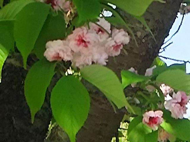 八重桜(牡丹桜、里桜)を二種類ずつご紹介しましょう!④