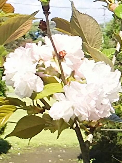 八重桜(牡丹桜、里桜)を二種類ずつご紹介しましょう!③