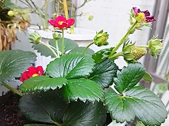 四季成りいちご(ルビーアンとセリーヌ)にも小さなイチゴ♪
