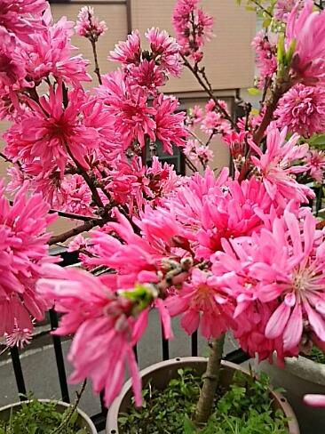 あの蘖(ひこばえ)ブルーベリーの花も満開のキクモモの隣で沢山咲いています♪