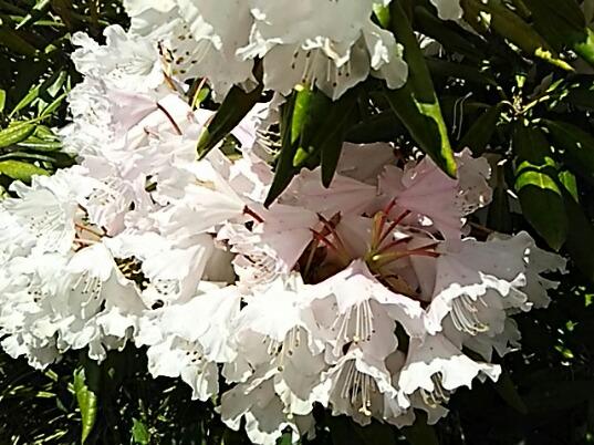 今朝はシャクナゲ(石南花、石楠花)の花
