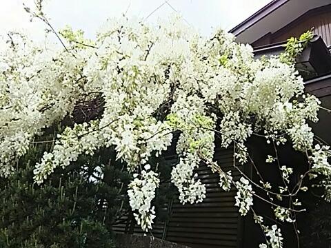 ご近所の白いフジの花が良い香りと共に満開の時を迎えています!