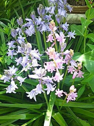 毎年よく咲いてくれているツリガネズイセン(釣り鐘水仙)