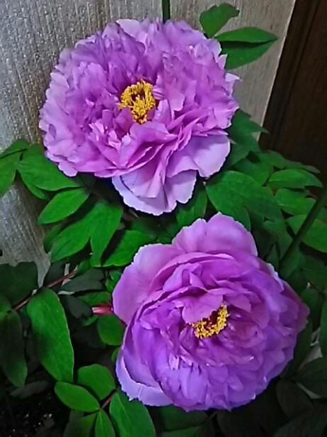 今日は王妃の誕生日です!そして、それを祝ってくれるかの様に牡丹(ぼたん)が一斉に咲き始めてくれました♪♪♪
