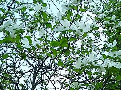 ハナミズキ(花水木、アメリカヤマボウシ)があっという間に満開に☆