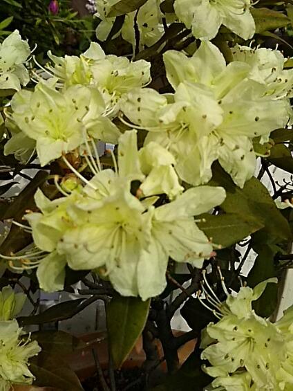 日蔭躑躅(ヒカゲツツジ)の黄色い花☆☆☆