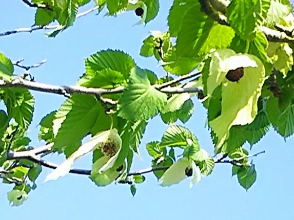 ハンカチの木(鳩の木)