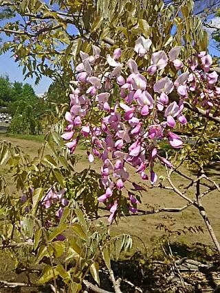 フラワーセンターのフジ(藤)の花に囲まれた一角で‼