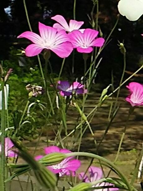 ムギセンノウ(アグロステンマ、麦撫子)は元々は雑草