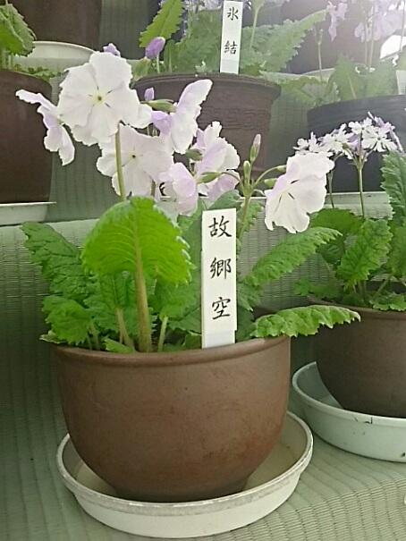サクラソウ(日本桜草)を少しだけ!