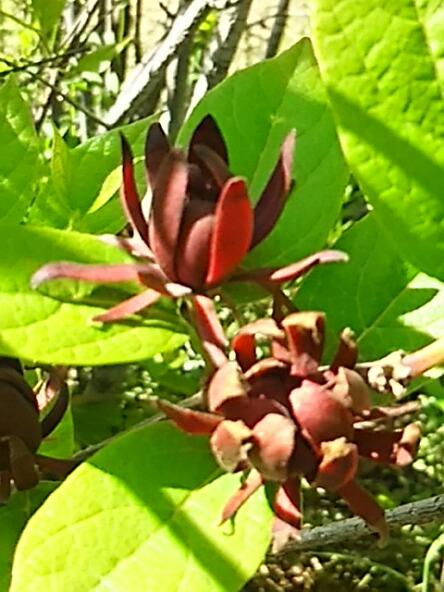 甘い香りでチョコレート色の不思議な花、クロバナロウバイ(黒花臘梅)