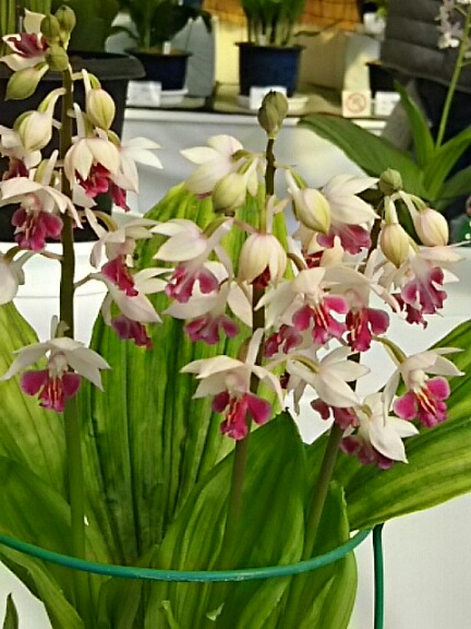 エビネ(海老根、エビネラン)展にて五種類の花を‼