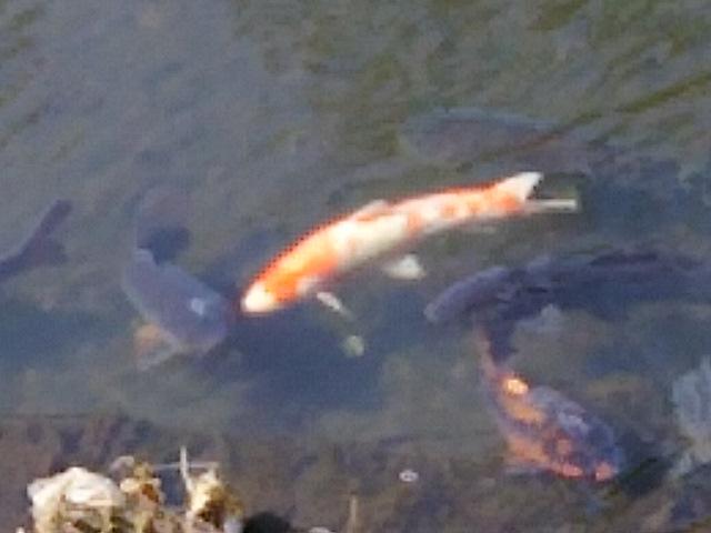 今日はこどもの日(端午の節句)と言うことでアヤメと鯉