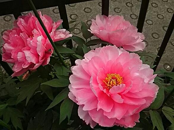 我が家の最後のボタン(牡丹)三種類が咲き揃いました♪「紅輝獅子」「八千代椿」そして「ハイヌーン」