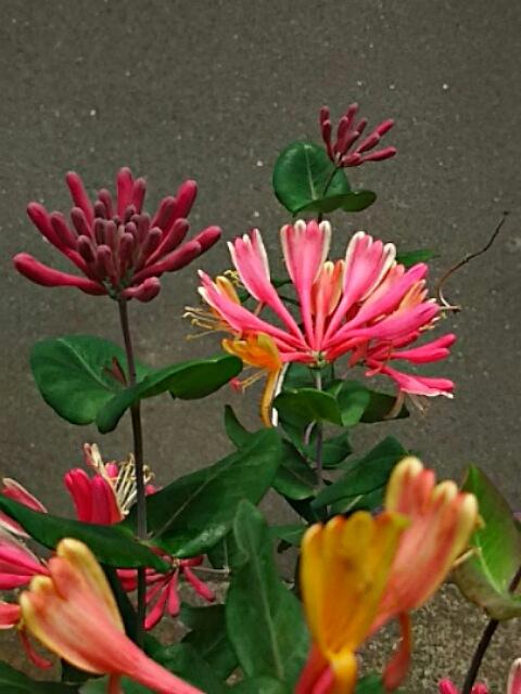 我が家のハニーサックル(匂い忍冬、スイカズラ、ツキヌキニンドウ)が咲き始めています♪