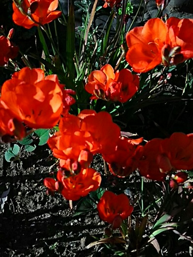 友人の家に咲いている花(バビアナと八重咲きフリージア)