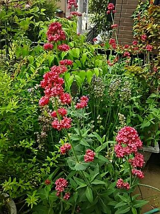 レッドバレリアン(紅鹿子草、セントランサス)は我が家の庭のあちこちに咲いています♪