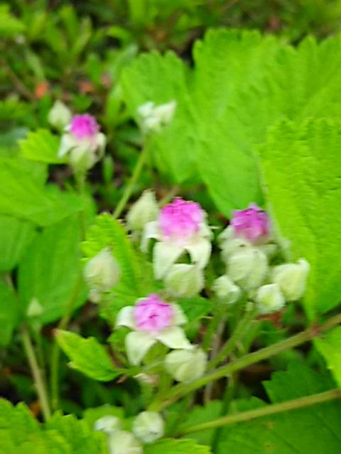 公園に咲くナワシロイチゴ(苗代苺、サツキイチゴ)の花が今年も咲き始めました♪