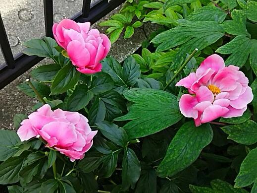 我が家のシャクヤク(芍薬)がやっと咲き始めました♪