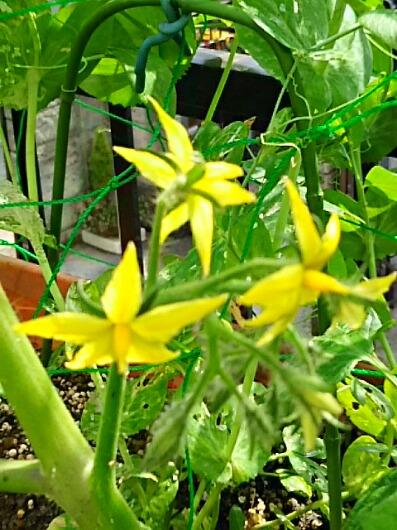 ミニ家庭菜園の野菜たちの花、可愛いよ☆