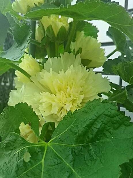 我が家のタチアオイ(立葵、梅雨葵、ホリホック、花葵)が咲き始めました♪