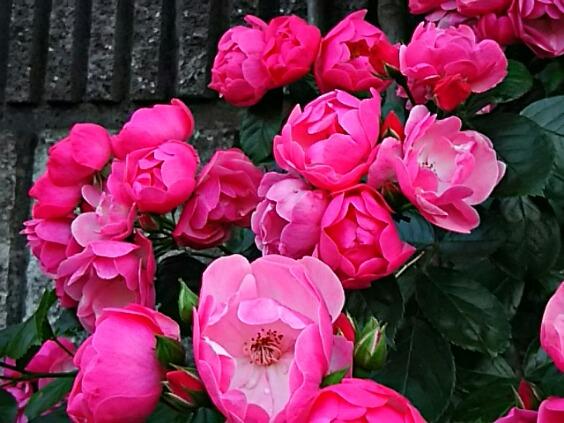 バラ、薔薇、ばらが咲いて美しく飾られた友人宅