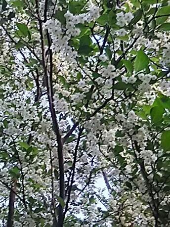 ウツギ(空木、卯木、卯の花)の花の様ですが。。。?良い香りがしていました♪