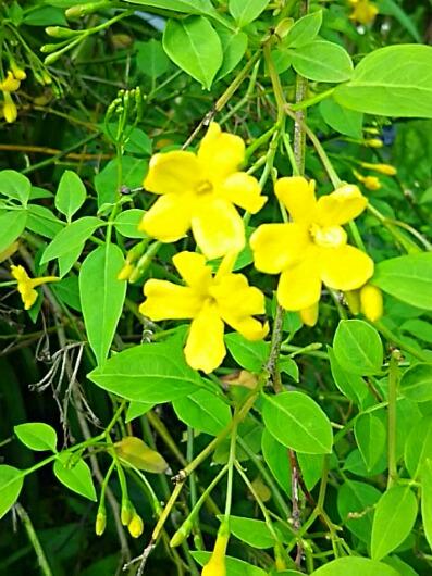 キソケイ(黄素馨、イエロージャスミン、ヒマラヤジャスミン)はジャスミンの仲間です!
