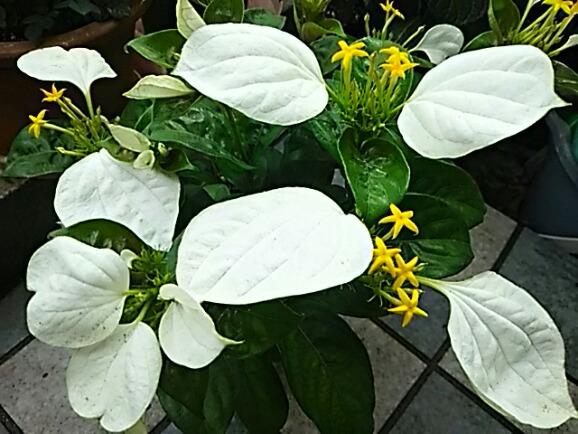 コンロンカ(ハンカチの花、ムッサエンダ、サマーポインセチア)の花は小さく可愛い星の粒☆