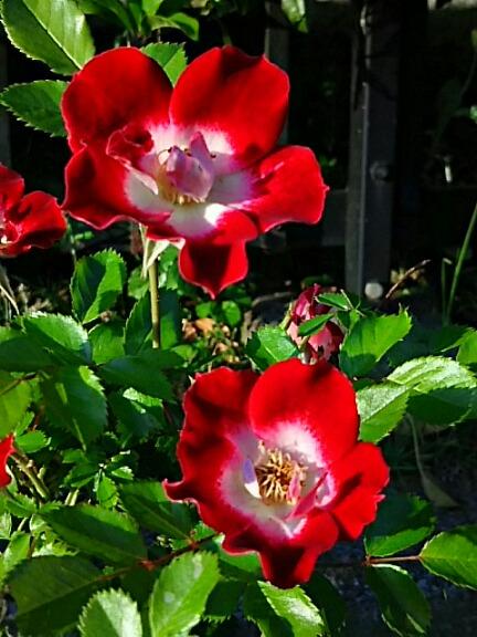 いつものように河原の散歩道で咲いている可愛いバラ