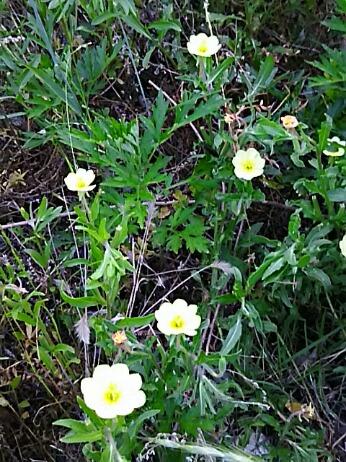これから草地で観られる可愛い花たち(ヒルガオ、コマチヨイグサ、ヒルザキツキミソウ)