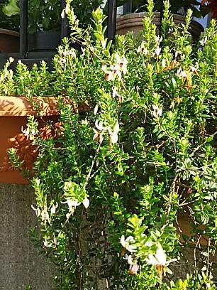 クランベリー(大実の蔓苔桃・オオミノツルコケモモ)の花が咲き始めて来ましたよ♪